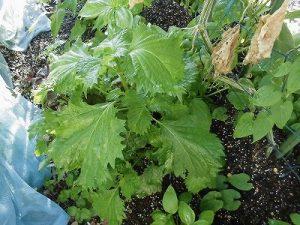ミニミニ家庭菜園&ミニガーデニング 大きくなった青紫蘇の葉/どこまでもアマチュア