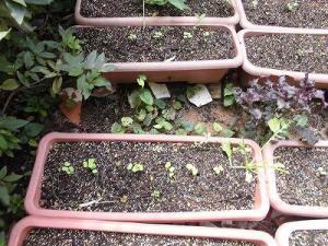 ミニミニ家庭菜園&ミニガーデニング Lesson8_2015 カブの芽/どこまでもアマチュア