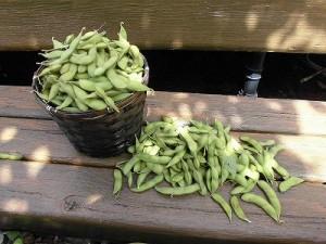 ミニミニ家庭菜園&ミニガーデニング Lesson8_2015 枝豆/どこまでもアマチュア