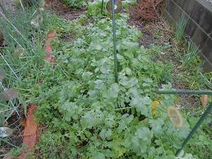 ミニミニ家庭菜園&ミニガーデニング 成長してきた大根/どこまでもアマチュア