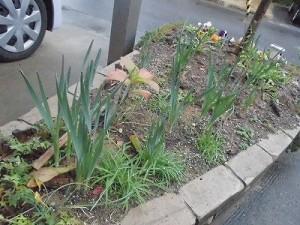 ミニミニ家庭菜園&ミニガーデニング 成長してきた玄関先の水仙/どこまでもアマチュア
