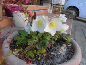 真冬に咲くクリスマスローズの花
