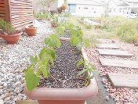家庭菜園のつもりで庭いじり2016 伸びてきたつるなしいんげん/どこまでもアマチュア