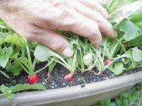 家庭菜園のつもりで庭いじり2016 赤く色づいてきたラディッシュ/どこまでもアマチュア
