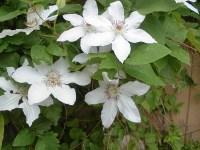 家庭菜園のつもりで庭いじり2016 クレマチスの花/どこまでもアマチュア