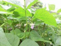 家庭菜園のつもりで庭いじり2016 つるなしいんげんの花/どこまでもアマチュア