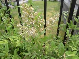 家庭菜園のつもりで庭いじり2016 ナンテンの花/どこまでもアマチュア