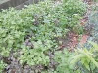 家庭菜園のつもりで庭いじり2016 どこに畝があるのか/どこまでもアマチュア