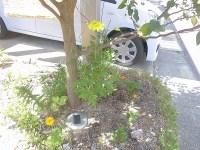 家庭菜園のつもりで庭いじり2016 植え替えたマリーゴールド/どこまでもアマチュア