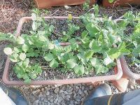 家庭菜園のつもりで庭いじり2016 触手を伸ばすつるなしえんどう/どこまでもアマチュア