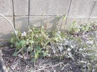 家庭菜園のつもりで庭いじり2016 茗荷の芽/どこまでもアマチュア