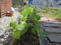 家庭菜園のつもりで庭いじり2016 成長するプランターのつるなしいんげん/どこまでもアマチュア