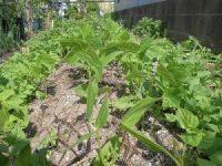 家庭菜園のつもりで庭いじり2016 成長する畝のつるなしいんげん/どこまでもアマチュア