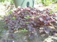 家庭菜園のつもりで庭いじり2016 大きくなってきた赤しそ/どこまでもアマチュア