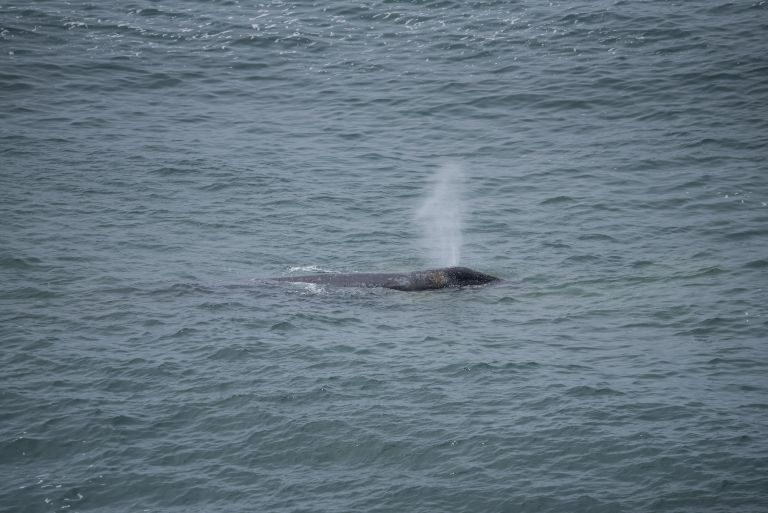 A whale expelling air through its blowholes.