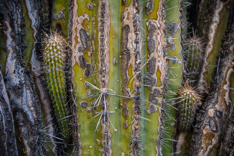 Old and new growth on a cactus.
