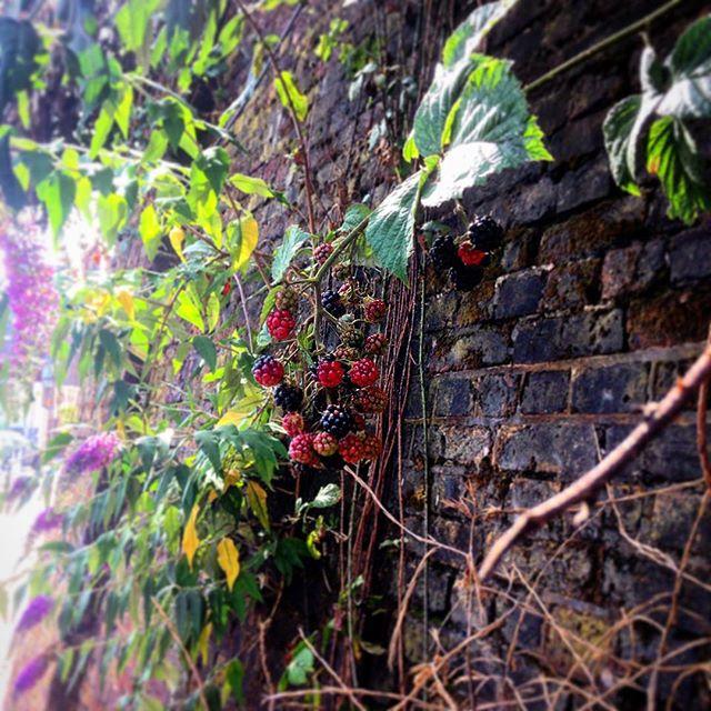 blackberry in tursenia, autumn, fall