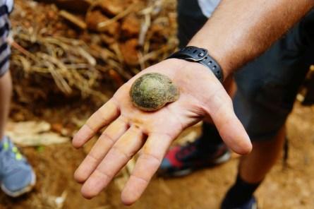 Diese Schnecken gehörten früher zu den Nahrunsmitteln der Taíno. Nachdem mit den Spaniern die Ratten kamen, konnte man die Schnecken nicht mehr essen.