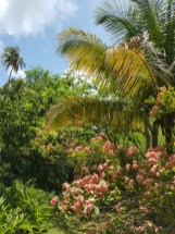 Trees blossoming everywhere. St. Lucia, Caribbean