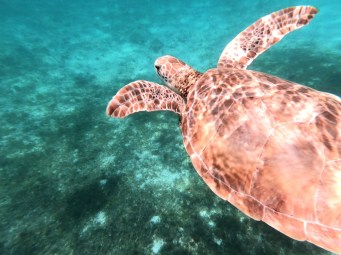 Turtle in Tobago Cays