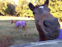 Daisy (in the background) and Violet (the one right up in the camera) are pasture mates.