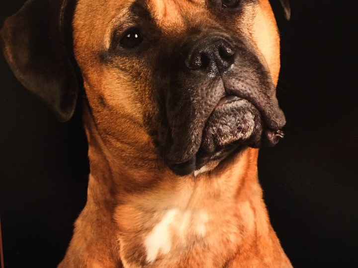 Bella the Bullmastiff