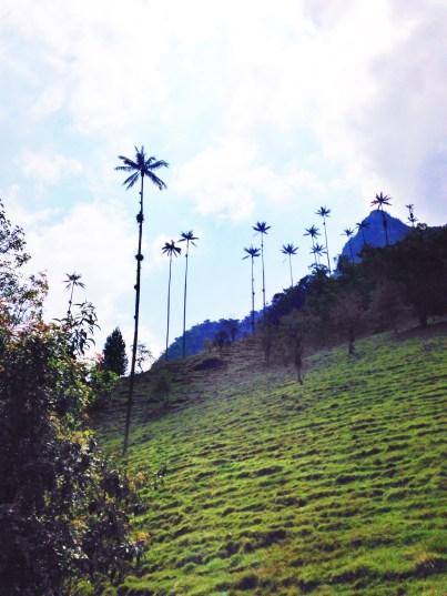 Salento Wax Palms