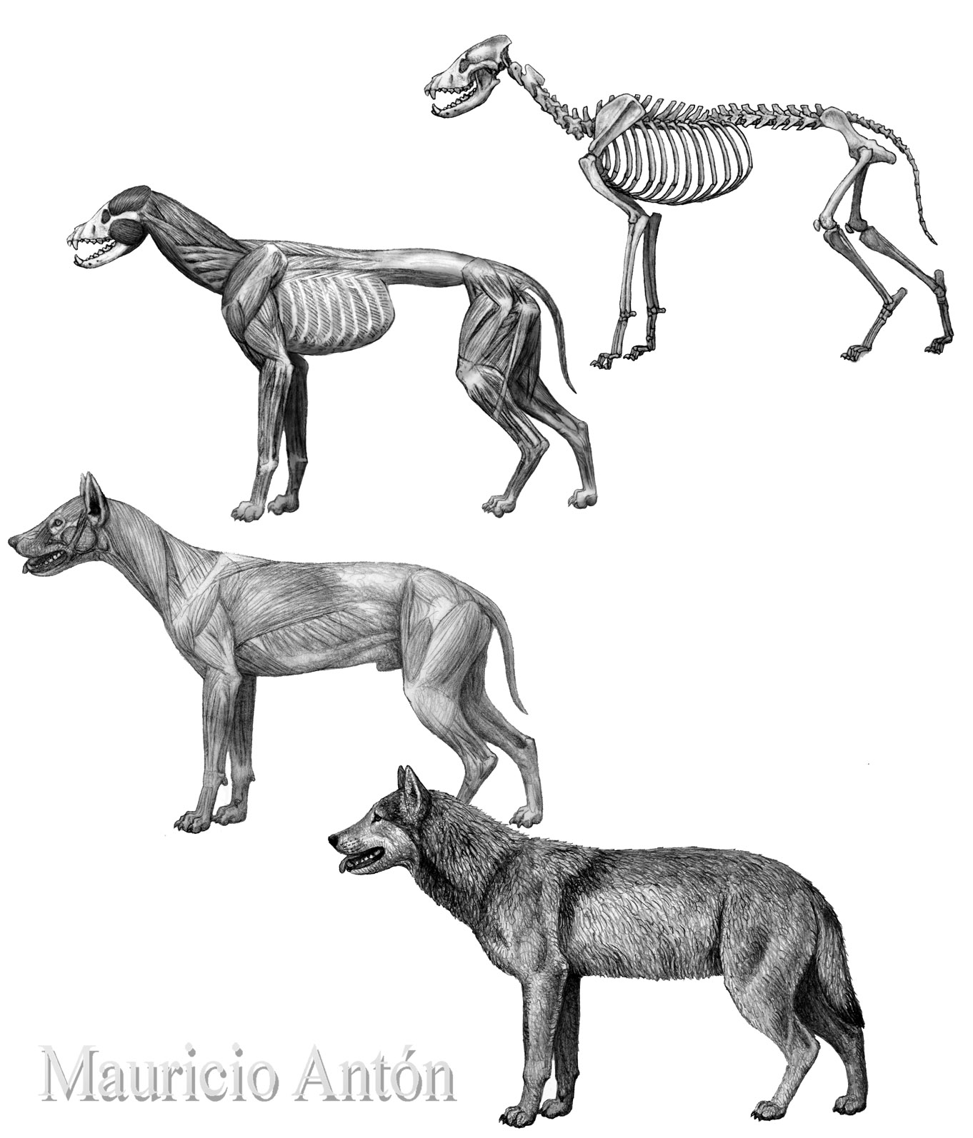 Wolves From The Past Living With Sabertooths