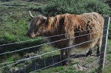 Sandy coloured highland cow