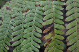 Close up of the leaves of a fern