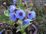 Close up of the blue flowers on a pulmonaria