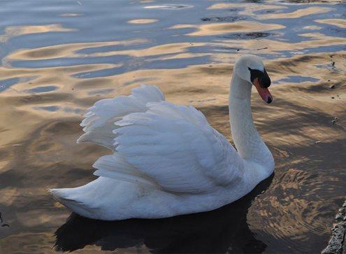 Swan - chasing starry skies