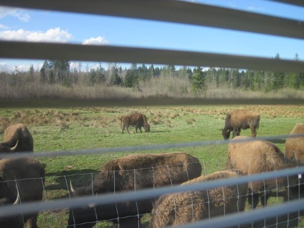 bison out the window
