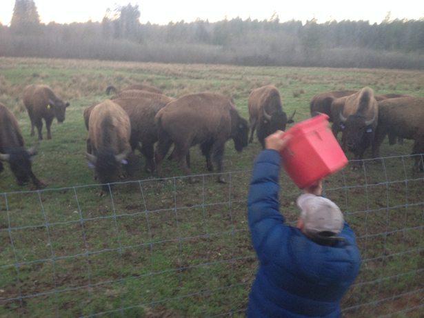 tim feeding bison