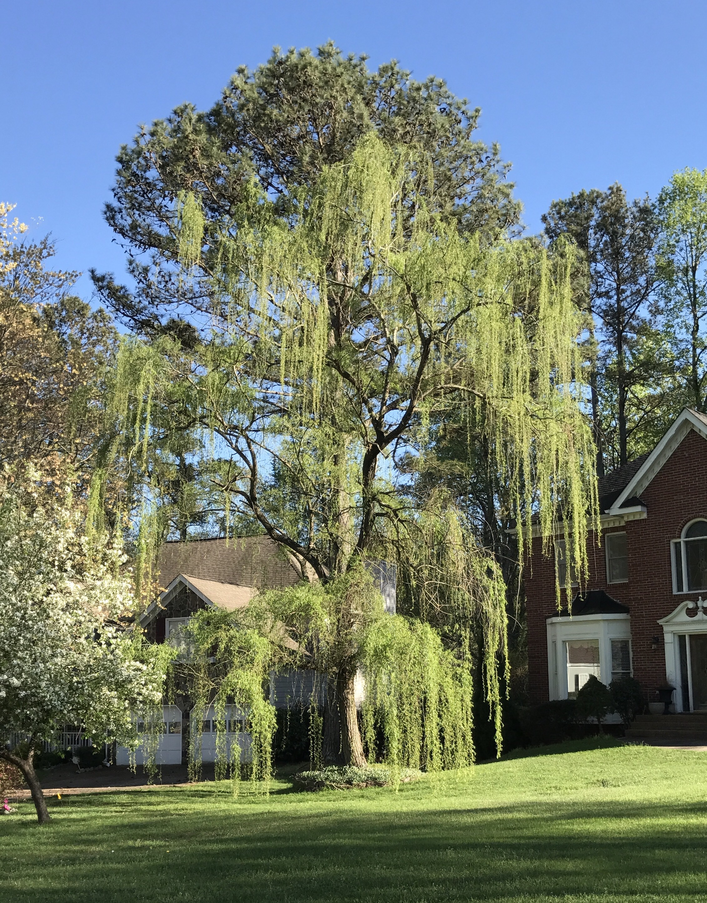 Weeping willow salix babylonica chasingtrees for The willow house