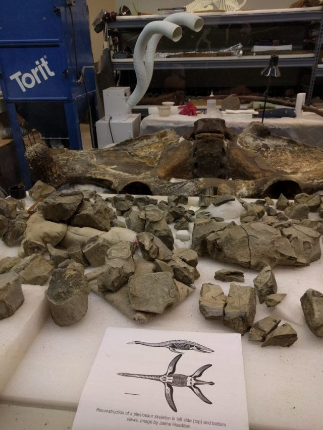Plesiosaur vertebrae in the CMNH Paleolab.