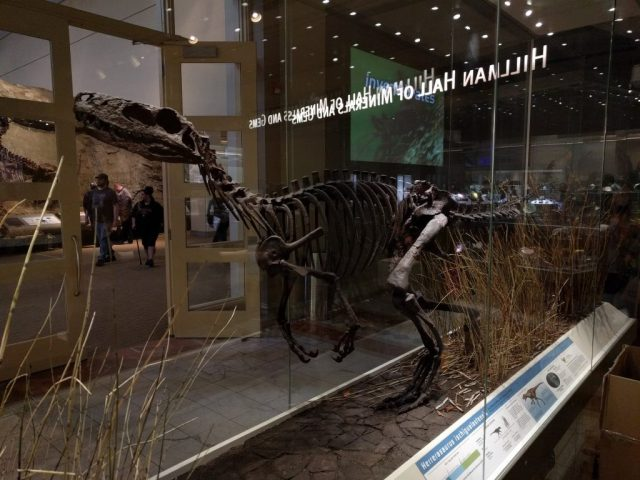 Mount of Herrerasarus at the Carnegie Museum of Natural History.