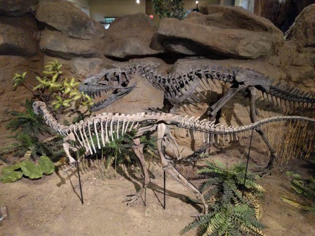 Dryosaurus and Ceratosaurus on display at the Carnegie Museum of Natural History