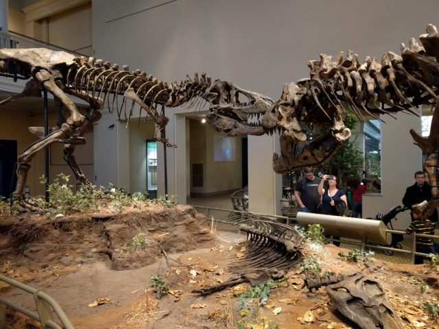 A pair of rexies squabblin' over an Edmontosaurus at the Carnegie Museum of Natural History