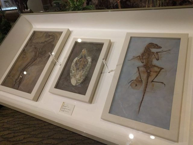 Feathered fossil slabs at the Carnegie Museum of Natural History