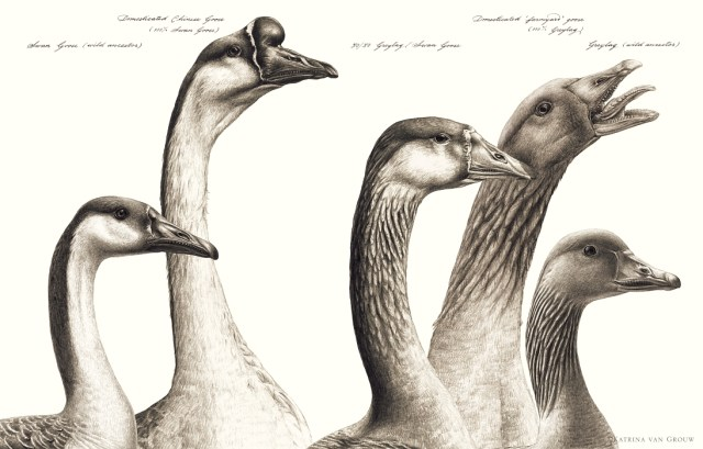 Goose ancestry
