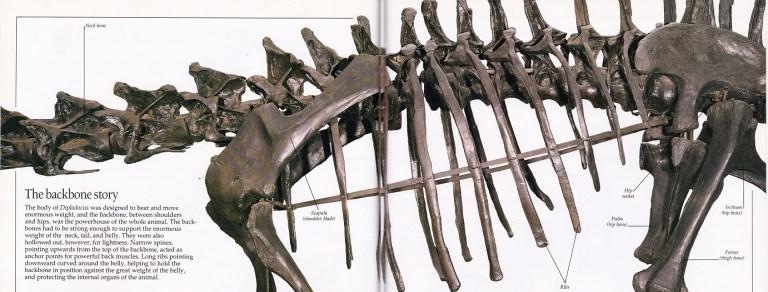 Diplodocus ribcage