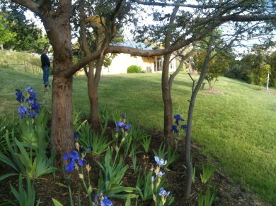 Irises #1
