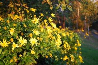 Sparkling bush daisies