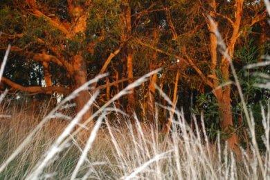 Golden bark, silver grasses #1