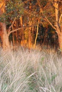 Golden bark, silver grasses #3