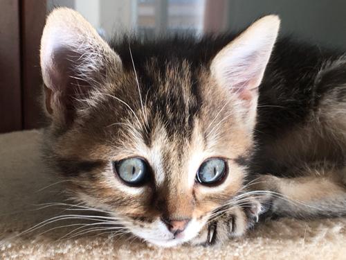 chaton 3 mois yeux bleus