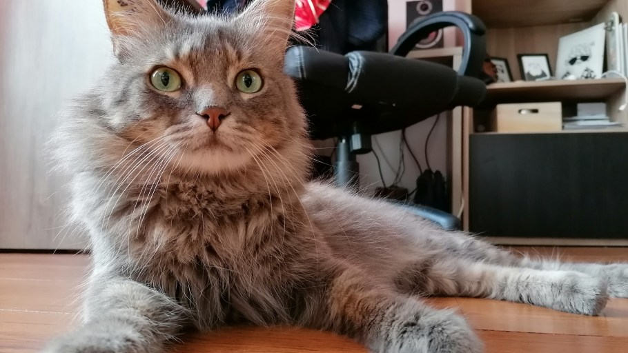 MARIUS chat Mâle à adopter
