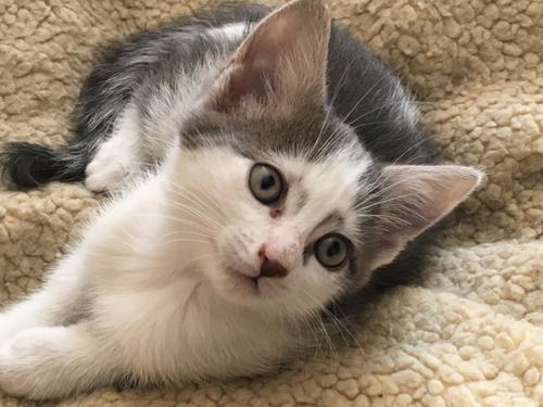 chaton gris et blanc à adopter paris