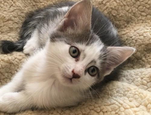 vertigo chaton gris et blanc